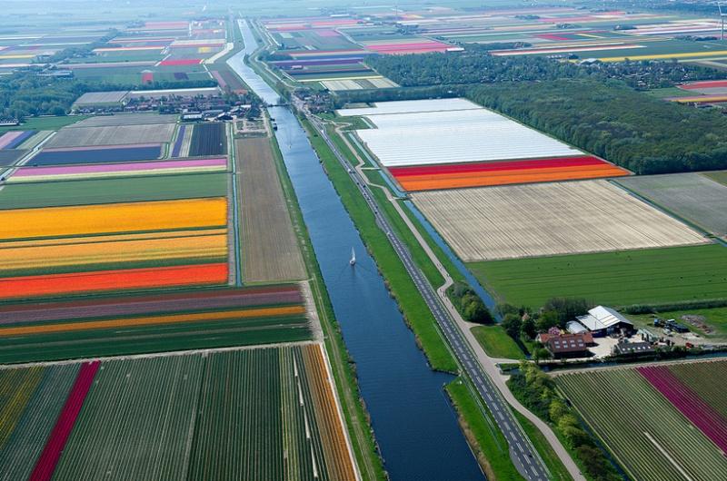 Champs de Tulipes en Hollande 118