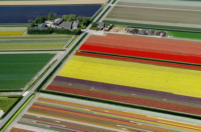 Champs de Tulipes en Hollande 219