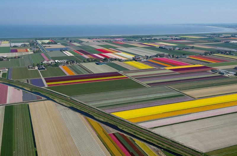 Champs de Tulipes en Hollande 318