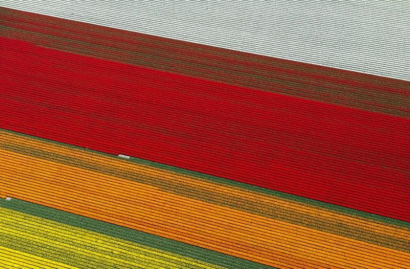 Champs de Tulipes en Hollande 418