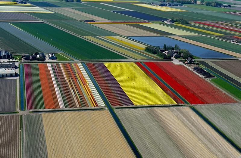 Champs de Tulipes en Hollande 518