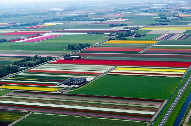 Champs de Tulipes en Hollande 617