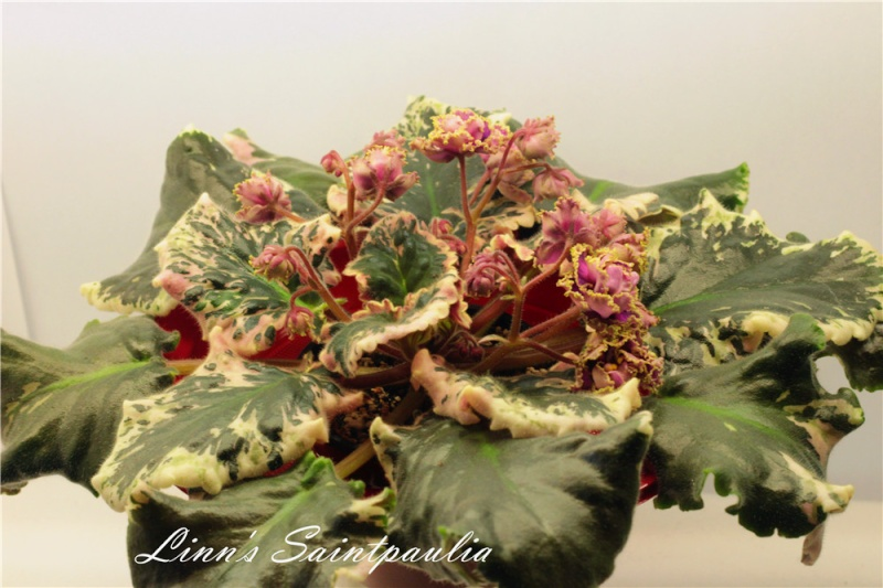 Linn's Saintpaulia, Wrangler's Gaudy Lady!!!!! Img_3710