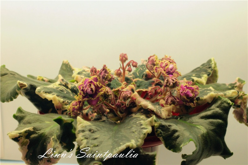 Linn's Saintpaulia, Wrangler's Gaudy Lady!!!!! Img_3711