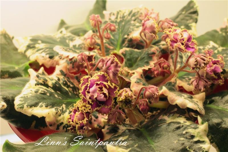 Linn's Saintpaulia, Wrangler's Gaudy Lady!!!!! Img_3713
