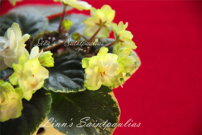 Saintpaulias collectionneurs de Linn Img_3920