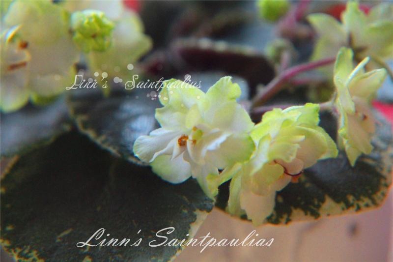 Saintpaulias collectionneurs de Linn Img_3921