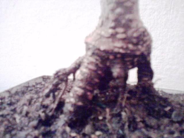 ficus rinvaso d'emergenza Ficus110