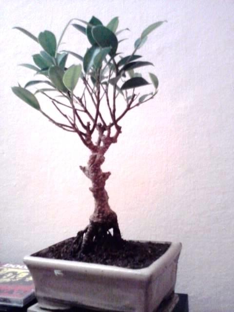 ficus rinvaso d'emergenza Ficus_10