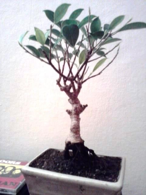 ficus rinvaso d'emergenza Ficus_11