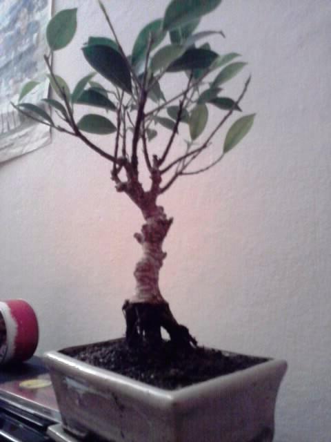 ficus rinvaso d'emergenza Ficus_12