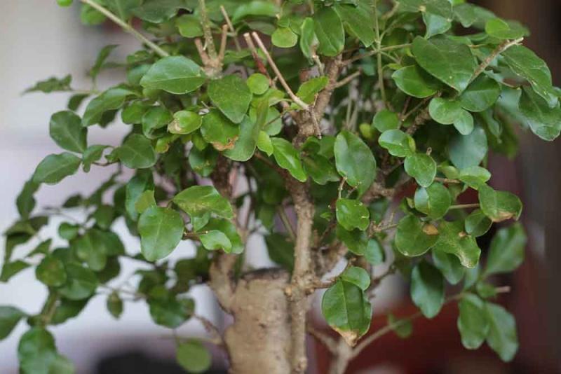 foglie ligustro Ligust10