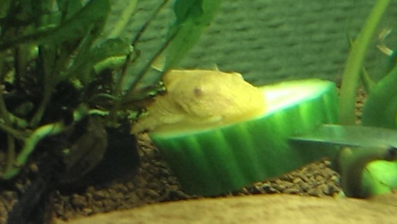 ancistrus voilés albinos Imag0412