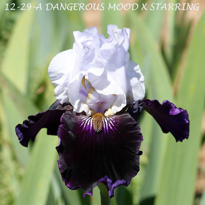Dangerous  Mood Img_1710
