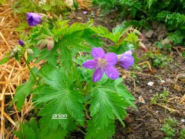 geranium vivace - Page 2 Avril_43