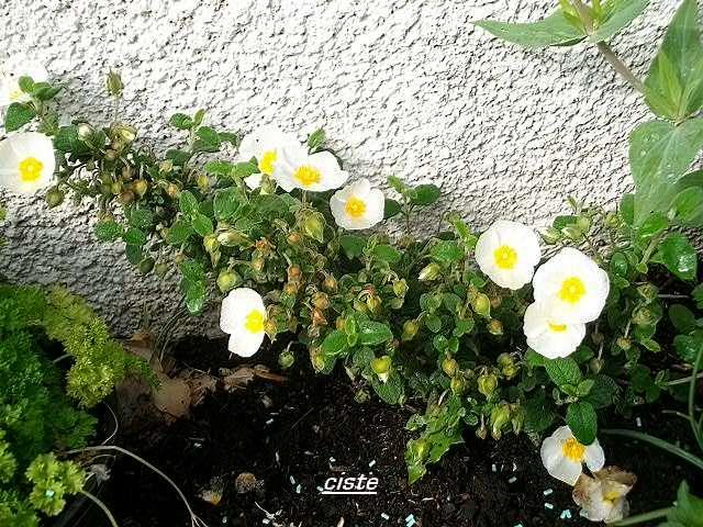 ciste blanc à coeur jaune Avril_78