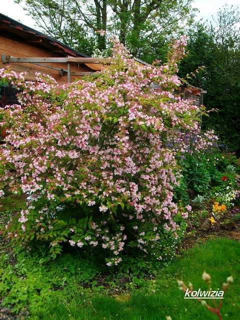 Koltwitzia Amabilis 'Pink Cloud' - Page 2 Mai_0015