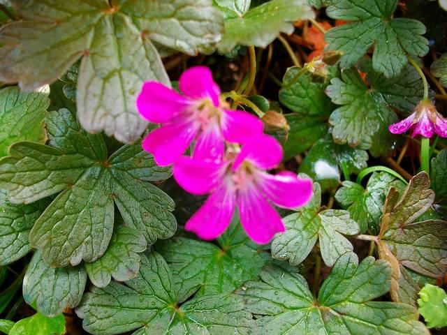 geranium vivace - Page 4 Mai_0020