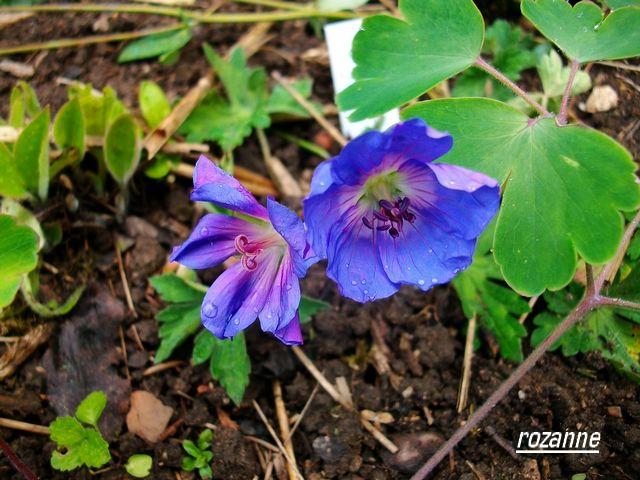 geranium vivace - Page 6 Mai_0028