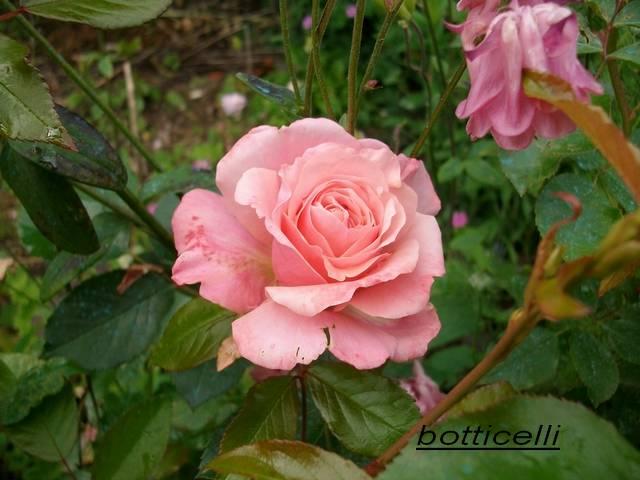 Rosa 'Botticelli' - Page 2 Mai_0047