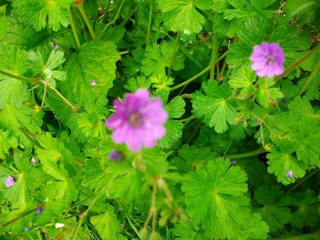 geranium vivace - Page 5 Mai_0127