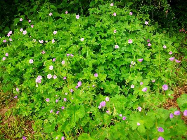geranium vivace - Page 5 Mai_0128
