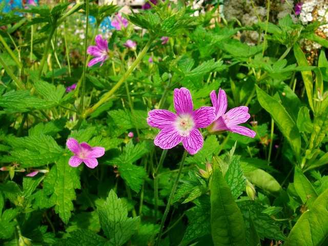 geranium vivace - Page 6 Mai_0131