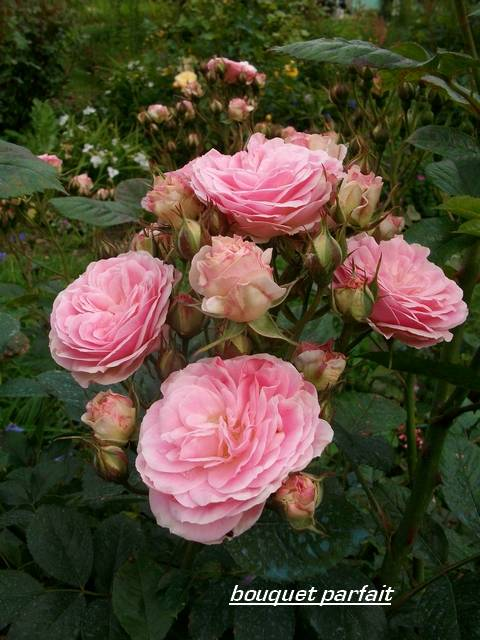 Rosa 'Bouquet Parfait' !!! - Page 5 Mai_0152