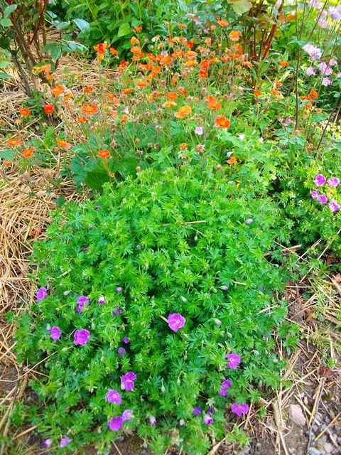 geranium vivace - Page 3 Mai_0211