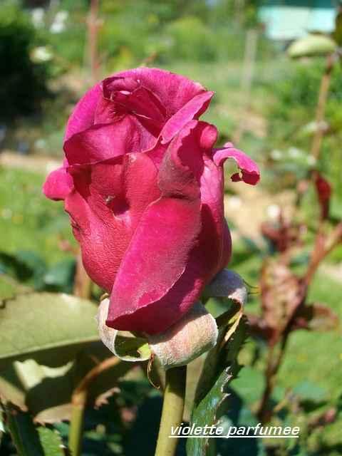 Rosa 'Violette Parfumée !!! - Page 3 Mai_0326