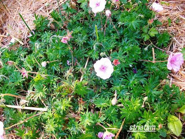 geranium vivace - Page 3 Mai_0411