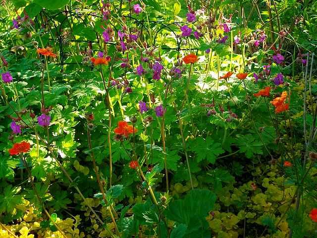 geranium vivace - Page 3 Mai_0412