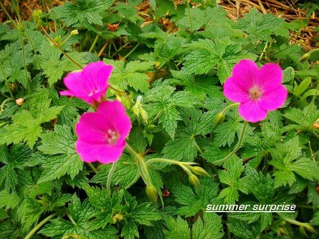 geranium vivace - Page 4 Mai_0519