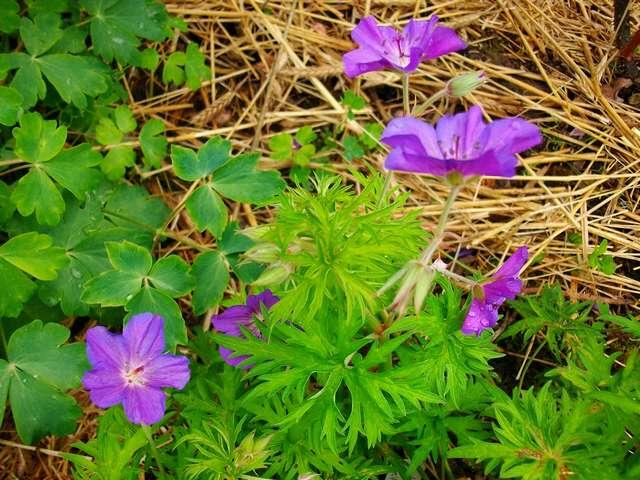 geranium vivace - Page 5 Mai_0520