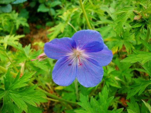geranium vivace - Page 5 Mai_0615