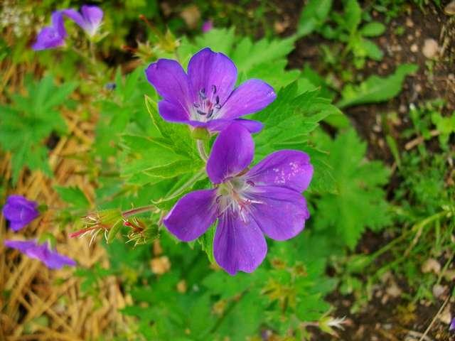 geranium vivace - Page 5 Mai_0616