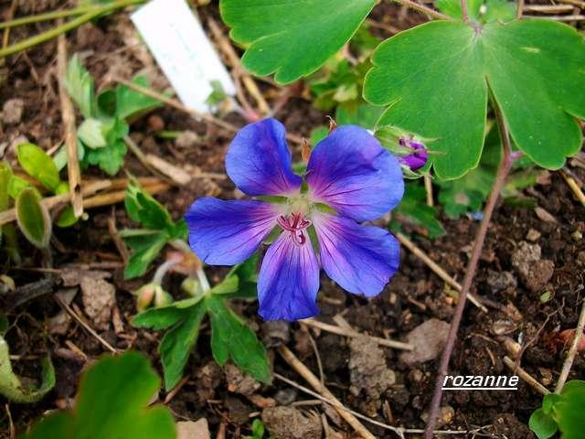 geranium vivace - Page 5 Mai_0617