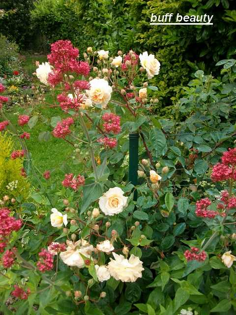 Rosa 'Buff Beauty' !!! - Page 5 Mai_0630