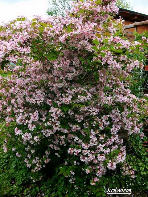 Koltwitzia Amabilis 'Pink Cloud' - Page 2 Mai_0713