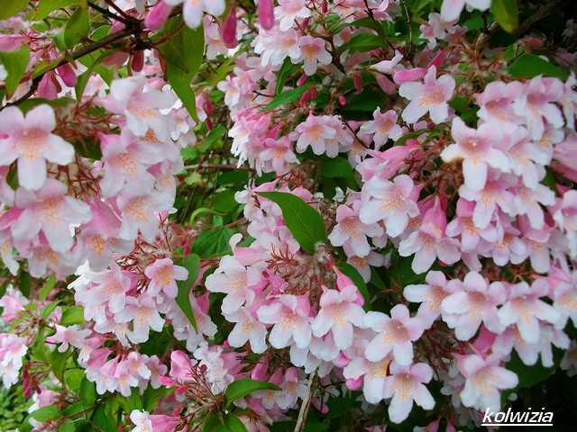 Koltwitzia Amabilis 'Pink Cloud' - Page 2 Mai_0714