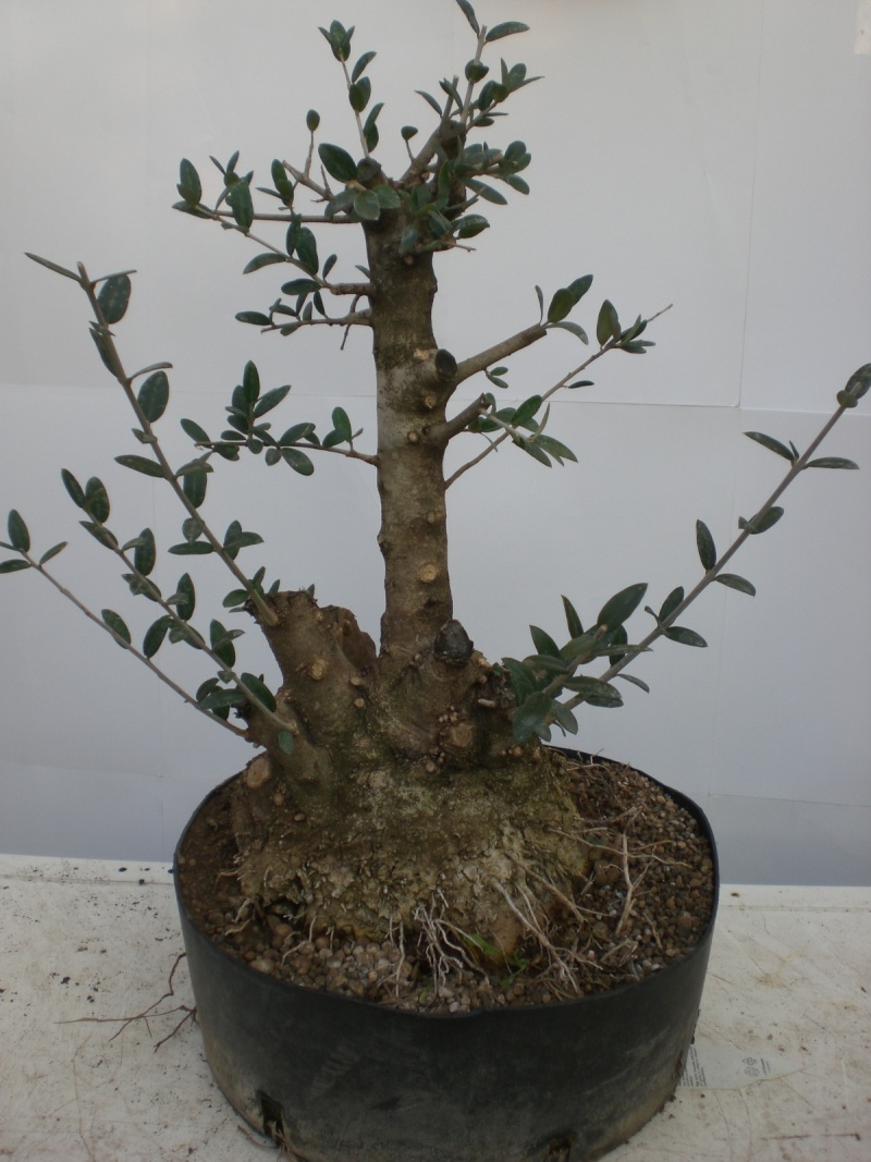 Olivo 02-26010