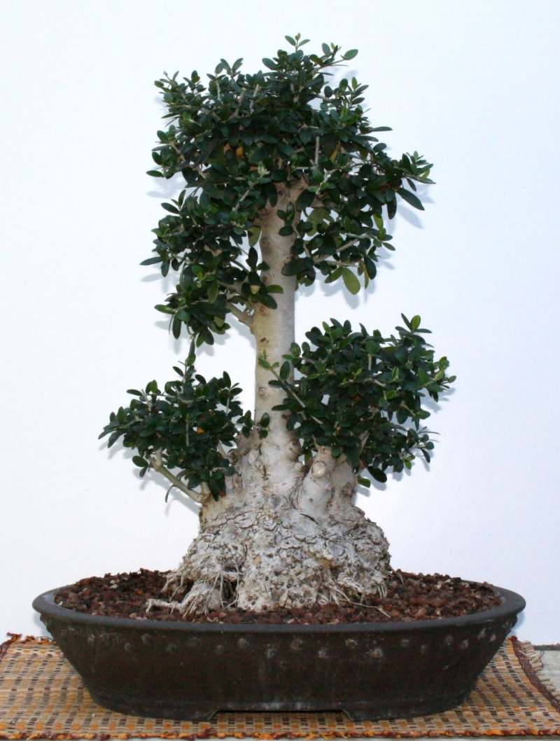 Olivo 17-16010
