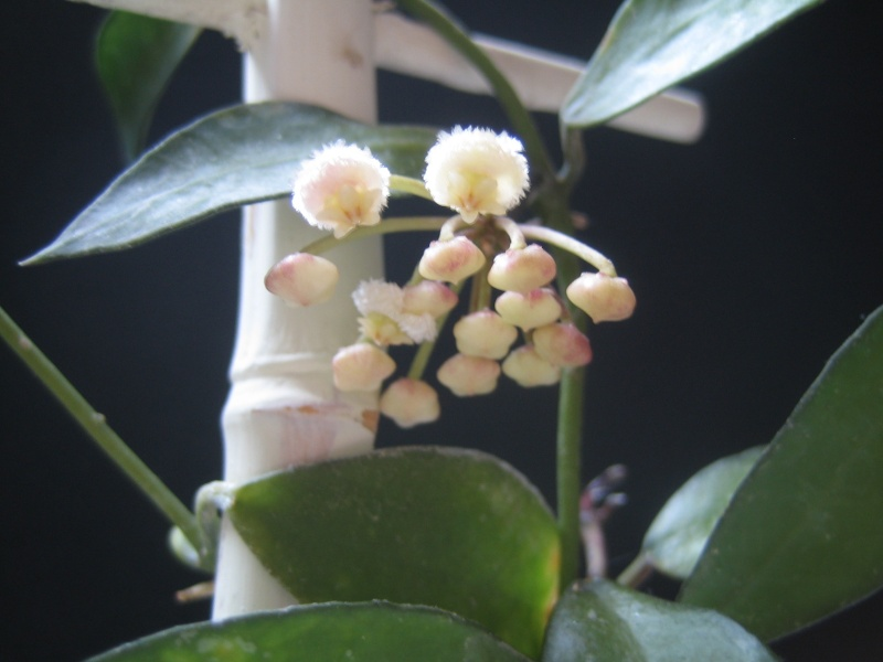 Hoya Lacunosa en fleur Hoya_l10