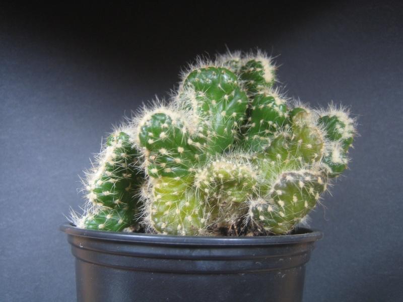 Cactus cristata mal en point Img_1911