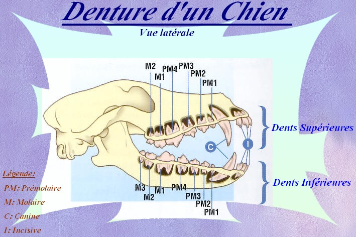 Dentition du chien Dentur10