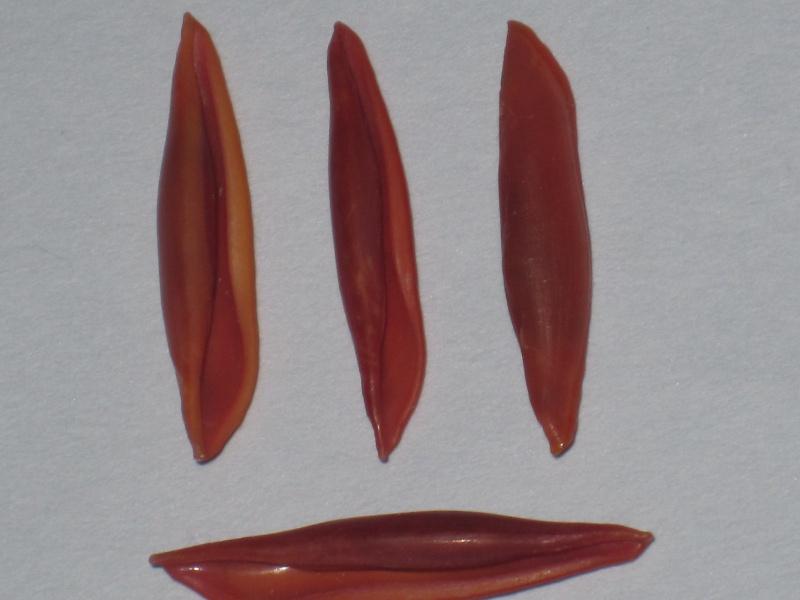 Aclyvolva lanceolata - (G.B. Sowerby II, 1848) Aclyvo10