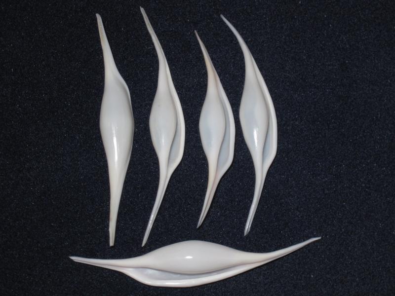Calcarovula longirostrata - (G.B. Sowerby I, 1828) Calcar10