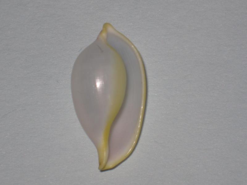 Contrasimnia xanthochila - (Kuroda, 1928) Contra10