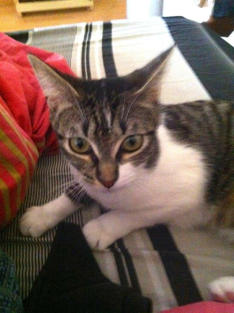 Ivanhoé chaton hyper câlin et attachant né le 9 avril 2013 (adopté par sandrine59 ) Img_1713
