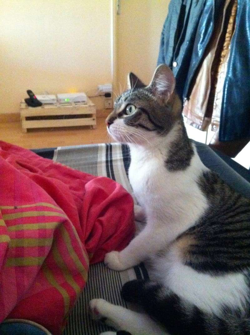 Ivanhoé chaton hyper câlin et attachant né le 9 avril 2013 (adopté par sandrine59 ) Img_1714